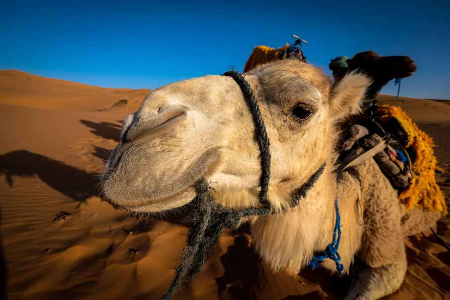 front view of a camel at the desert area